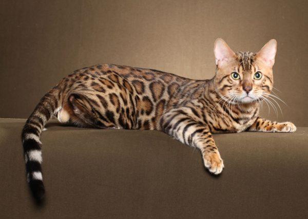 бенгальская кошка лежит, свесив лапу