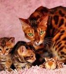 Золотого окраса бенгал с котятами