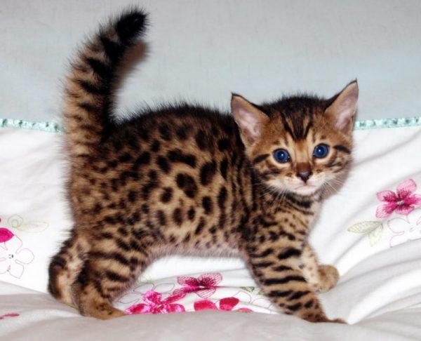 Котёнок бенгала стоит, подняв хвост трубой