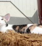 Сейшельская короткошёрстная кошка
