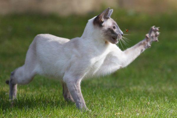 Сиамский кот охотится на насекомое