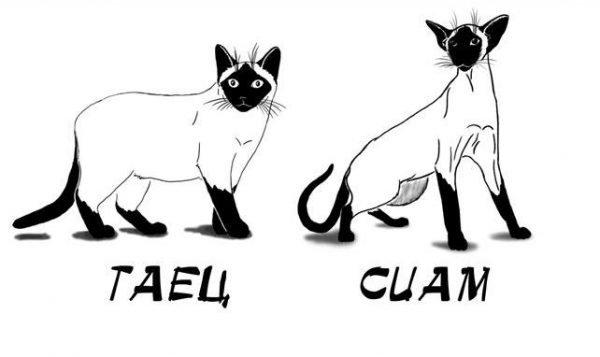 Сравнение тайской и сиамской кошек