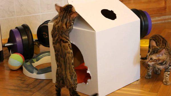 Бенгальские котята играют с коробкой