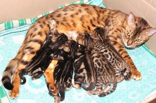 Бенгальская кошка кормит выводок котят
