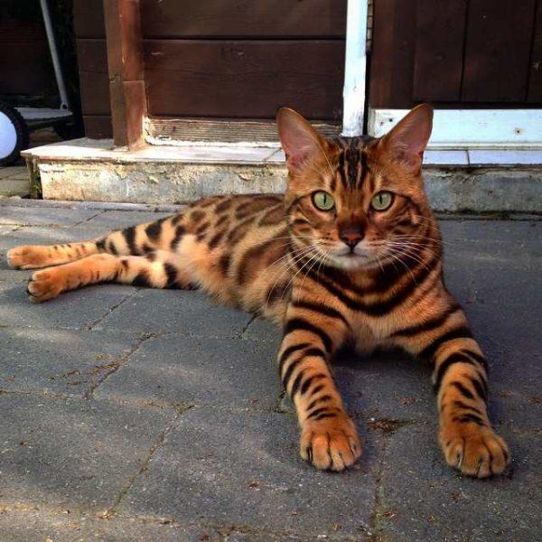 Бенгальский кот лежит, вытянув передние лапы