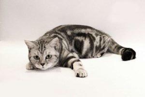 Шотландская прямоухая кошка скоттиш - страйт