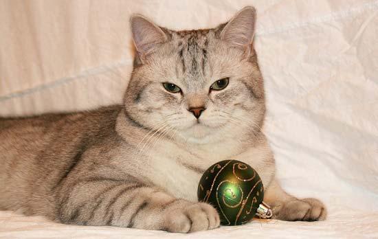 Шотландский кот с игрушкой