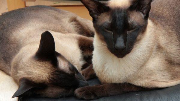 Два сиамских кота