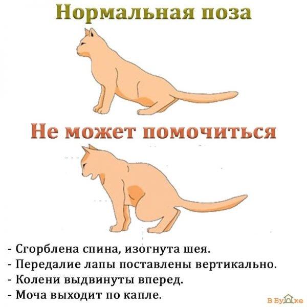 Симптомы МКБ у кошек