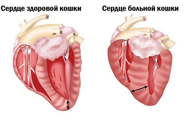 Сердце здоровой и больной кошки