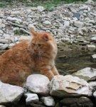 Рыжий курильский бобтейл сидит на камнях горной реки