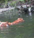 Рыжий курильский бобтейл плывёт по реке