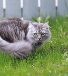 Сибирский кот сидит в траве
