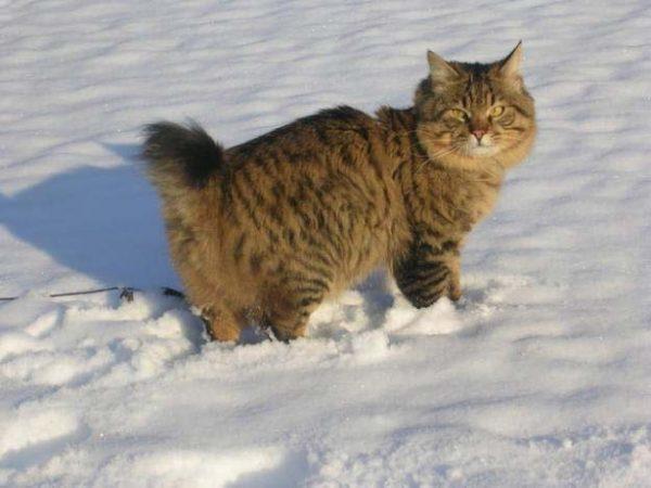 Курильский бобтейл стоит в снегу