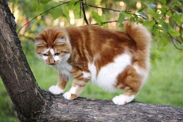 Бело-рыжий курильский бобтейл стоит на ветке дерева