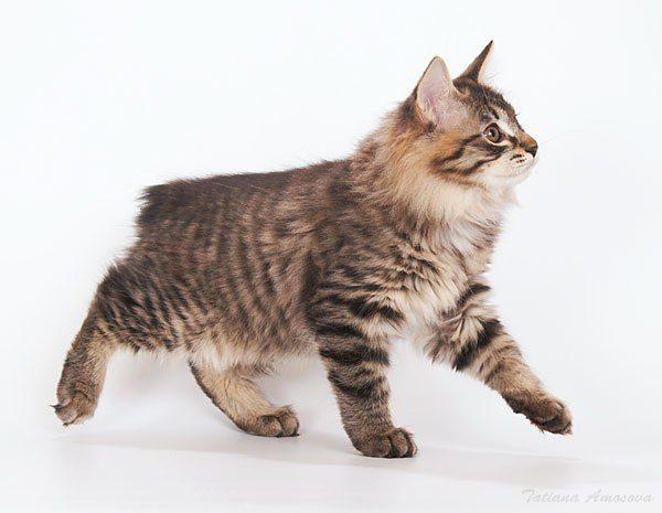 Котёнок курильского бобтейла идёт вперёд и смотрит вверх