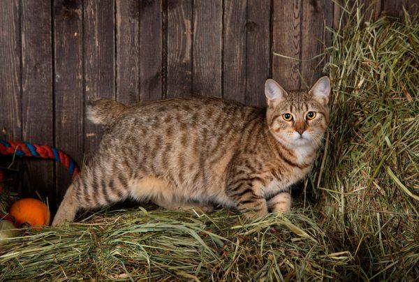 Кошка пиксибоб на фоне сухой травы