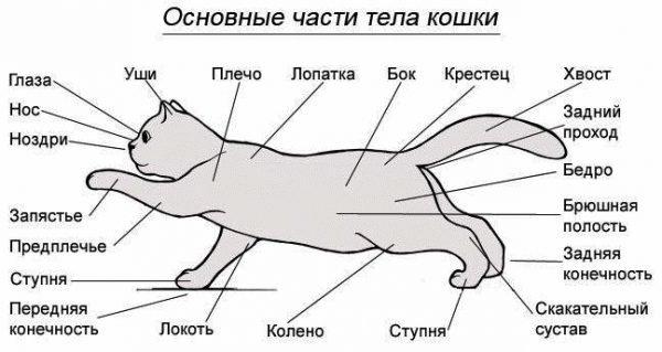 Схема частей тела кошки