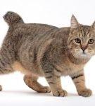 Кошка пиксибоб с характерным взглядом