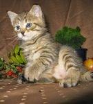 Котёнок пиксибоб