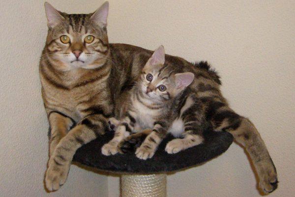 Кошка курильского бобтейла с котёнком лежат на тумбе