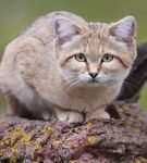 Барханный кот на камне