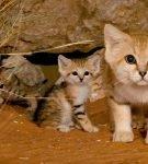 Барханный кот и 2 его котенка