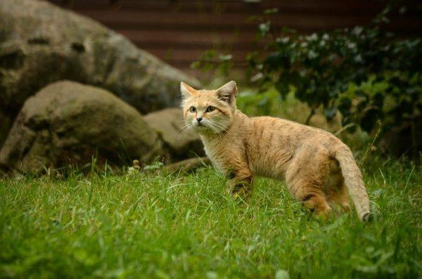 Барханный кот на фоне дома