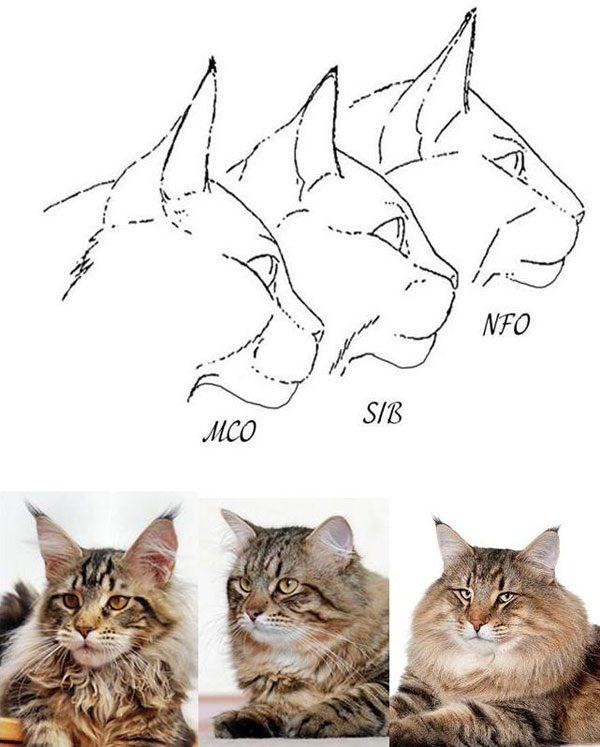 Схематичное изображение голов мейн-куна, сибирской и норвежской лесной кошек
