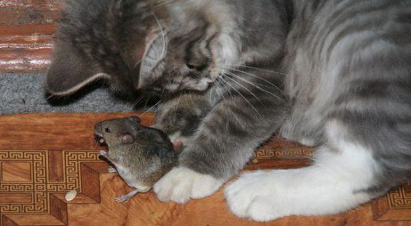 Котёнок ловит мышь