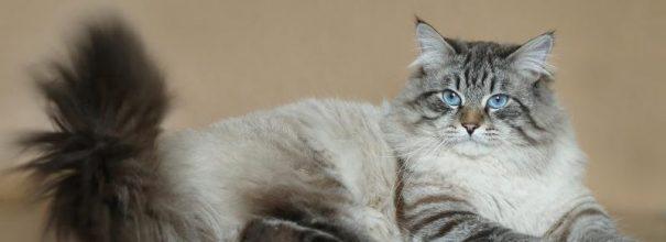 Невский маскарадный кот лежит, вытянув лапы