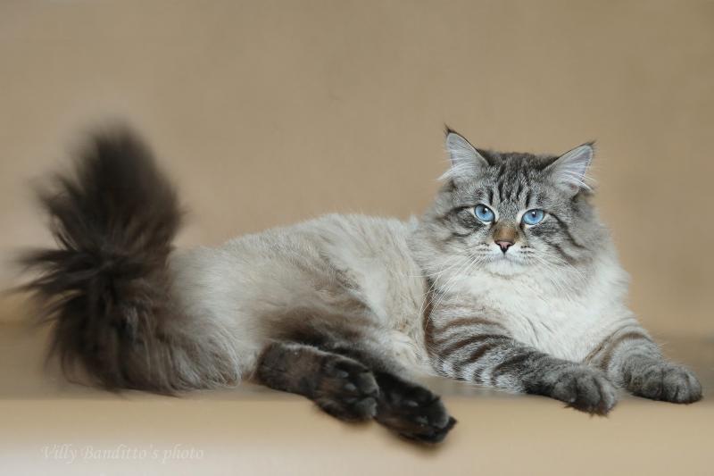 Невская маскарадная кошка описание породы и характер животного