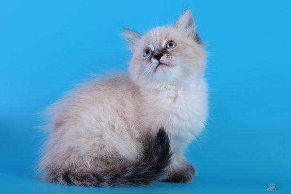 Котёнок невской маскарадной породы сидит и смотрит вверх