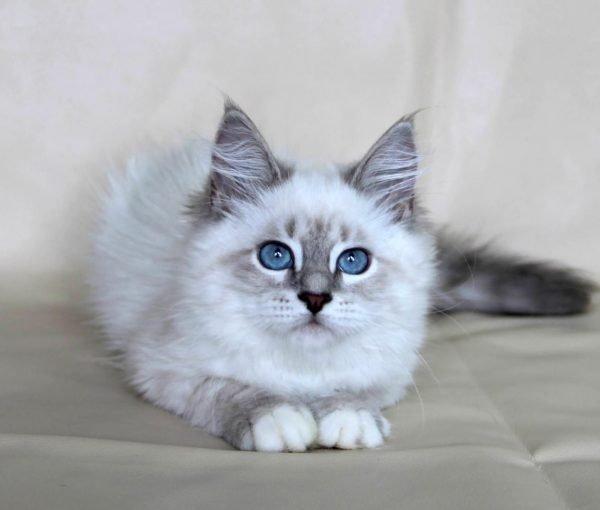 Котёнок невской маскарадной кошки сидит мордочкой к зрителю и смотрит вверх