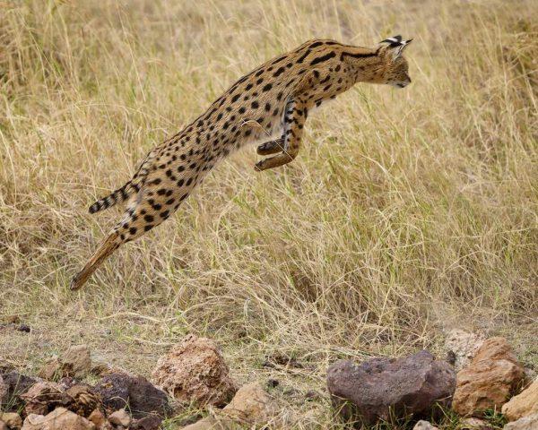 Сервал в прыжке