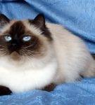 Шоколадного окраса невский кот полулежит, выставив вперёд одну лапку