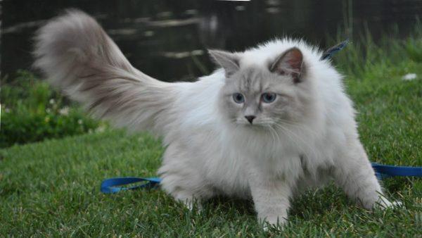 Невский маскарадный кот на лужайке