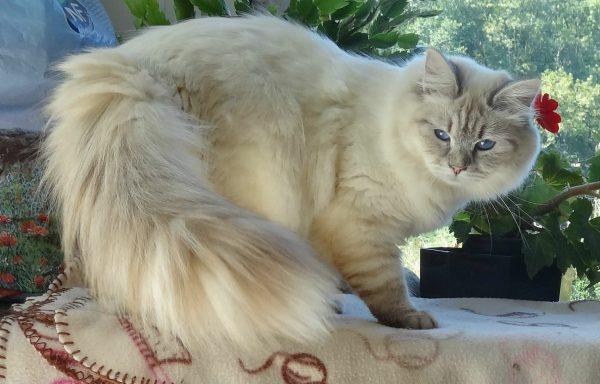 Невская маскарадная кошка стоит, оглядываясь назад