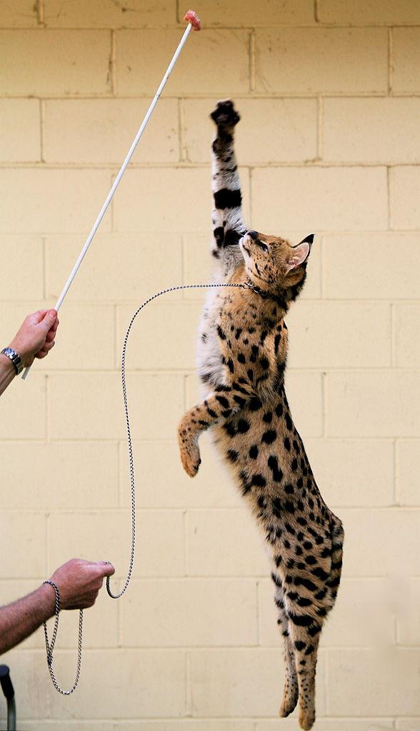 кустарниковая кошка в прыжке