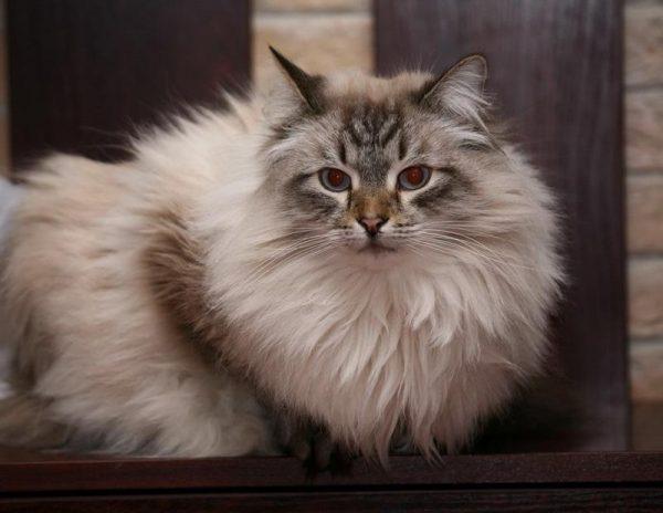 Невский маскарадный кот сидит на деревянной подставке