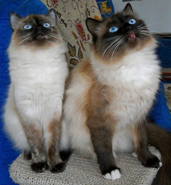Невские маскарадные кот и кошка сидят на тумбе и смотрят вверх