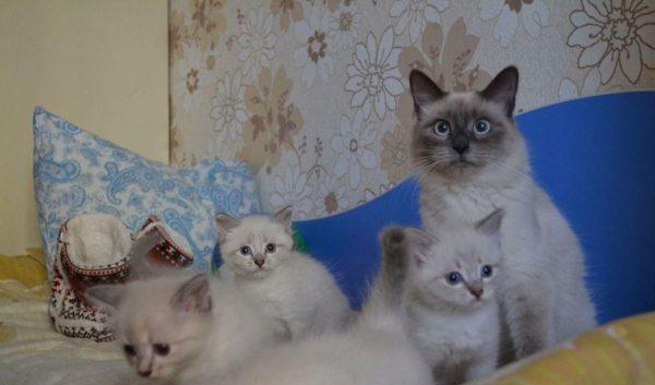 Кошка невской маскарадной с котятами сидит на кровати