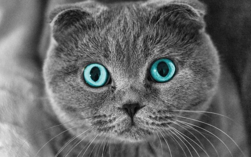 Окрас шотландских котов: условия чистоты породы, виды цветов и описание с фото