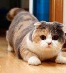 Трёхцветная вислоухая кошка