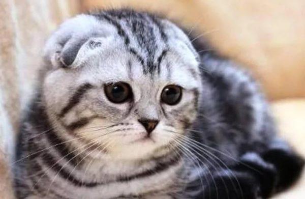 шотландская вислоухая кошка серая с белым