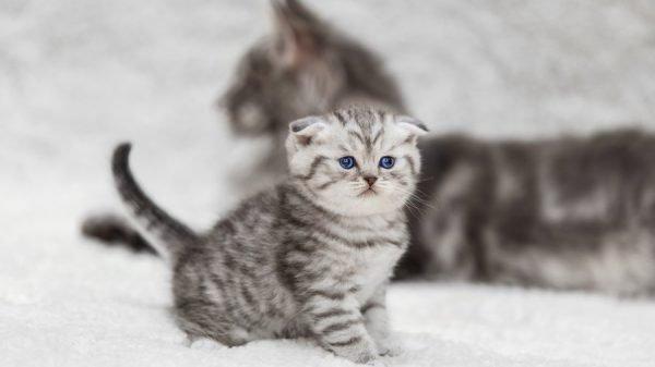 Котёнок шотландской вислоухой породы