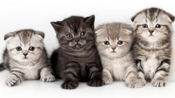 Котята шотландской вислоухой породы