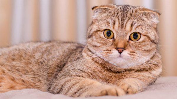 Рыжая вислоухая кошка