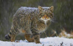 Европейский лесной кот в снегопад