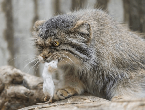 Манул с мышью в зубах